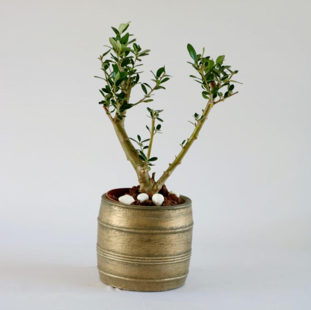 עץ זית ננסי בכלי מעוצב