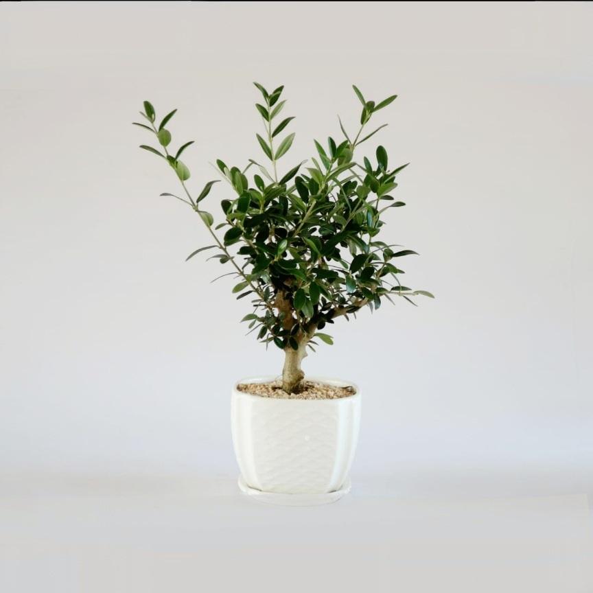 עץ זית ננסי בכלי לבן